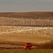 Huge flock of Snow Geese in Saskatchewan during fall migration — Stock Photo #4852162