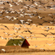 Huge flock of Snow Geese in Saskatchewan during fall migration — Stock Photo #4852170