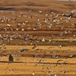 Huge flock of Snow Geese in Saskatchewan during fall migration — Stock Photo