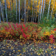 Fallen leaves near aspen forest in Northern British Columbia — Stock Photo