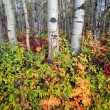 Autumn colors in a Northern British Columbia forest — Stock Photo