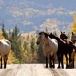 Royalty-Free Stock Photo: Range horses along British Columbia road