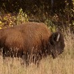 Lone buffalo along Alaska Highway — Stock Photo