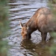 Cow moose drinking from Yukon stream — Stock Photo