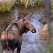 Cow moose standing in Yukon stream — Stock Photo