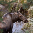 Cow moose standing in Yukon wilds — Stockfoto