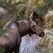Cow moose standing in Yukon wilds — Stock fotografie