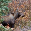 Stock Photo: Cow moose standing in Yukon wilds