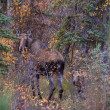 Cow and calf moose in Yukon wilds — Stock Photo