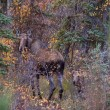 Stock Photo: Cow and calf moose in Yukon wilds