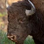 Buffalo along Alaska Highway — Stock Photo