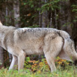 Gray Wolf along forest edge in British Columbia — Stock Photo