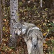 Gray Wolf along forest edge in British Columbia — Stok fotoğraf