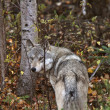 Gray Wolf along forest edge in British Columbia — Foto de Stock