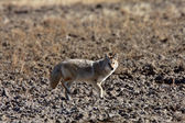 Coyote in Saskatchewan field — Stock Photo