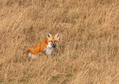 Red Fox in Saskatchewan grasslands — Stock Photo