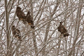 Golden Eagles in Saskatchewan tree — Stock Photo