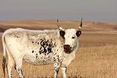 Longhorn steer in Saskatchewan pasture — Stock Photo