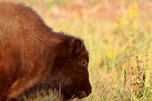 Buffalo calf along Alaska Highway — Stock Photo