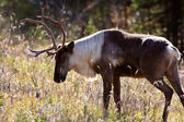 Woodland Caribou along Alaska Highway in British Columbia — Stock Photo
