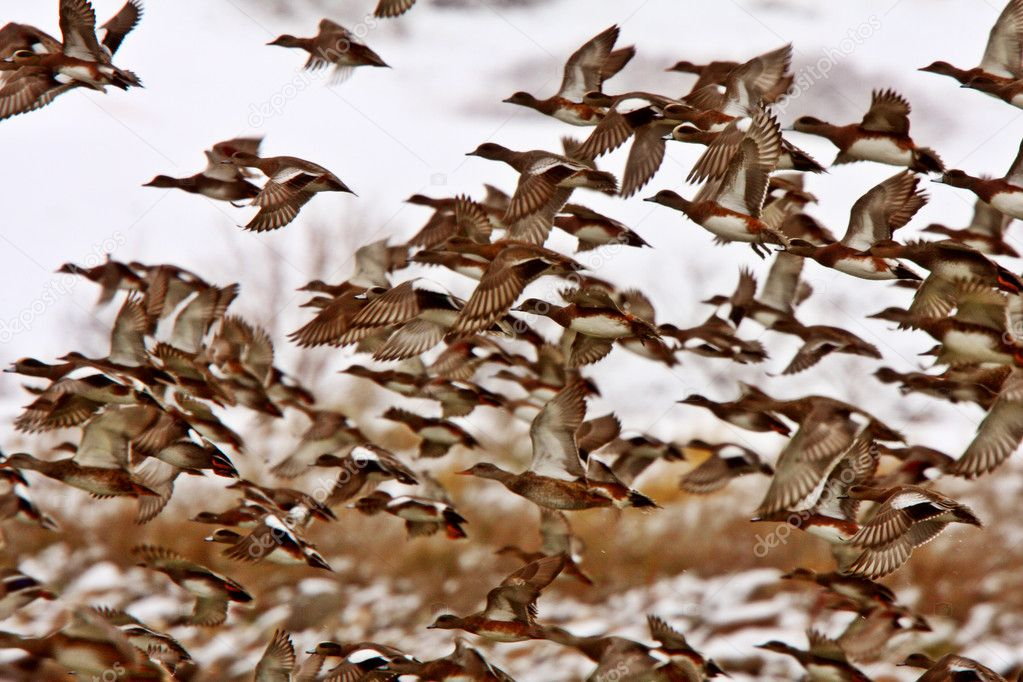 Mallard Duck Migration http://depositphotos.com/4852045/stock-photo-Large-flock-of-Mallard-Ducks-during-fall-migration.html