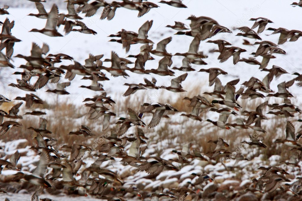 Mallard Duck Migration http://depositphotos.com/4852048/stock-photo-Large-flock-of-Mallard-Ducks-during-fall-migration.html