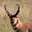 Male Pronghorn Antelope in Saskatchewan field — Stock Photo
