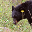 Black Bear along British Columbia highway - Stock Photo
