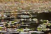 Water lily leaves in small British Coloumbia lake — Stock Photo