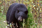 Black Bear along British Columbia highway — Stock Photo