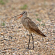 marbled godwit on gravel road — Stock Photo