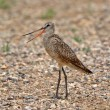 Stock Photo: marbled godwit on gravel road