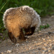 Badger running along Saskatchewan country road — Stock Photo