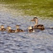 Hen and ducklings swimming in roadside pond — Stock Photo