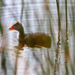 Immature Waterhen in roadside pond — Stock Photo