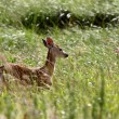 White tailed Deer fawn in tall grass — Stock Photo #4904194