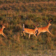 White tailed Deer bucks running and leaping — Stock Photo #4904549