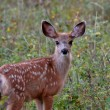 Mule Deer fawn in Saskatchewan field — Stock Photo