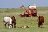 Horses grazing in pasture with foal resting — Stock Photo