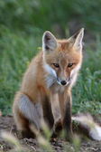 Red Fox pup outside its den — Stock Photo