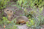 Richardson Ground Squirrel resting near burrow — Stock Photo