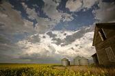 Canola crop near an old Saskatchewan homestead — Stock Photo