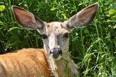 Close up of Mule Deer doe — Stock Photo