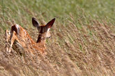 White tailed Deer fawn in tall grass — Stock Photo