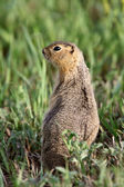 Richardson Ground Squirrel looking for danger — Stock Photo