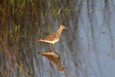 Upland Sandpiper standing in roadside pond — Stock Photo