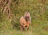 Shetland Pony colt in pasture — Stock Photo