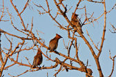 Cedar Waxwings in tree — Stock Photo