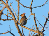 Cedar Waxwing in tree — Stock Photo