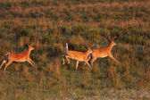 White tailed Deer bucks running and leaping — Stock Photo
